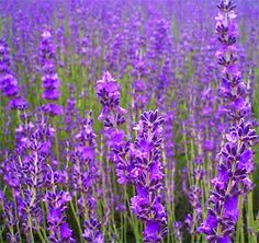 lavendar- someday would love to grow a whole field of it. My kids love the smell of lavender, they say it smells like me, and they often make the request to have me spray my lavender perfumes on their pillows so they can smell me at night. Very sweet.