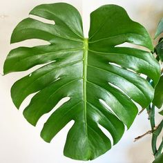 Easy House Plants, Monstera Deliciosa, Container Plants, Houseplants, Instagram, Design, Indoor House Plants, Potted Plants