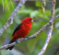 CARAXINGUI, O ARBUSTO DOS PASSARINHOS mg-perez.blogspot.com Afinal descobri o nome das frutas pretas e pequeninas que atraem o tiê-sangue, passarinho vermelho metálico, atração viva de meu jardim e símbolo da Mata Atlântica, ...