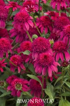 Monrovia's Double Scoop™ Cranberry Echinacea details and information. Learn more about Monrovia plants and best practices for best possible plant performance.