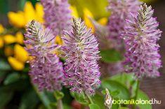 Rózsaszín Mula-Mula (Ptilotus exaltatus) gondozása, szaporítása Plants, Plant, Planting, Planets