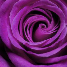 Fuschia Rose for Aunt Billie Jo