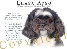 Lhasa Apso professional human trainer.