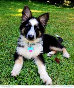 Panda shepherd--never seen one in real life but I would love to! Cute Puppies, Cute Dogs, Dogs And Puppies, Doggies, Panda German Shepherd, German Shepherds, White Shepherd, Baby Animals, Cute Animals