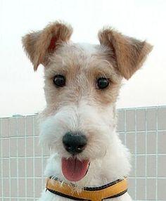 Baby fox terrier