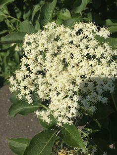 Elderflower, Healthy Living, Herbs, Fruit, Plants, Food, Syrup, Healthy Life, Essen
