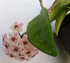 Flor de porcelana, Flor de cera, Planta de cera, Cerilla                            Mi consentida :)