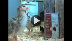 Baby chicks are adorable. I miss having chickens. GRIT Live Chick Cam - Animals - GRIT Magazine