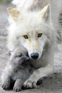 Mother Timber wolf and her pup. I am taking care of born wolf Animals And Pets, Baby Animals, Cute Animals, Exotic Animals, Strange Animals, Wild Animals, Wolf Spirit, My Spirit Animal, Wolf Pictures