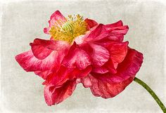 ❀ Blooming Brushwork ❀ - garden and still life flower paintings - Red Double Poppy v1 by Leslie Nicole