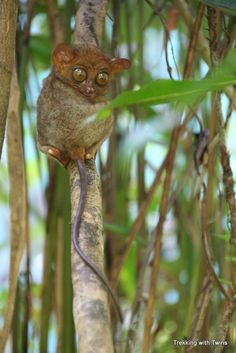 Saw this tarsier in Bohol, Philippines, along with the Chocolate Hills, Loboc River, and more!