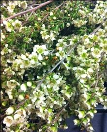 Lepto Champagne White - Leptospermum - Flowers and Fillers - Flowers by category | Sierra Flower Finder