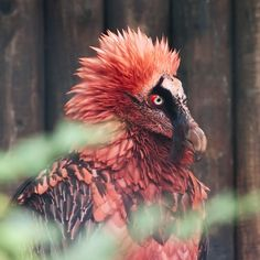 Red Bearded Vulture < Velociraptor - added by steammadewalrus at Vultures Bizarre Animals, Funny Animals, Beautiful Birds, Beautiful World, Red Beard, Vulture, Animal Party, Party Animals, Birds Of Prey