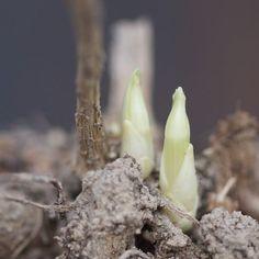 Georgineknoller plantes! Dahlia, Planters, Vegetables, Garden, Flowers, Garten, Lawn And Garden, Vegetable Recipes, Gardens