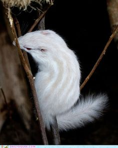 The Pink and White Album: Amazing Albino Animals Albino Chipmunk photographed @ Noah's Ark Zoo Farm in North Somerset, United Kingdom, in June Amazing Animals, Unusual Animals, Animals Beautiful, Majestic Animals, Cute Baby Animals, Animals And Pets, Funny Animals, Wild Animals, Rare Albino Animals