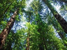 Sonoma is more than just wine! Take a break from tasting to enjoy a hike amongst the giants at Armstrong Redwood State Reserve.