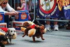 Weiner dog races @ Cuyahoga County Fairgrounds Oktoberfest. Epic!