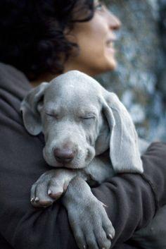 Weimaraner- cutest puppies ever! Love my Weimaraner! Love My Dog, Cute Baby Animals, Animals And Pets, Nature Animals, Wild Animals, Cute Puppies, Cute Dogs, Funny Dogs, Tier Fotos
