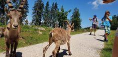 Nur 5 Minuten von Velden am Wörthersee entfernt liegt der Tierpark Rosegg in der Carnica Region Rosental. Kärntens größter Tierpark beheimatet an die 400 Tiere und ca. 35 Tierarten, wie amerikanische Bisons, Luchse, Steinböcke, Schakale, Waldrappe, Rehe aber auch seltene Hirscharten wie das weiße Rotwild und viele andere Tiere.Als Steinbock werden mehrere Tierarten aus der Gattung der Ziegen (Capra) benannt. Hunde sind im Wildtierpark erlaubt. Österreich-Urlaub, Reiseziele #animals #funny Tier Zoo, Labyrinth, Bisons, Goats, Funny Memes, Animals, Miniature Goats, Petting Zoo, Types Of Animals