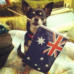 Flag of the great southland downunder Perth, Brisbane, Melbourne, Kinds Of Dogs, Australia Day, Australian Animals, Fox Terrier, All Things Cute, Dog Portraits