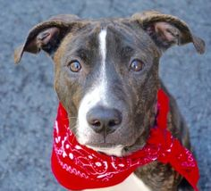 A1071190ziggy3 – 1..FEMALE, BL BRINDLE, STAFFORDSHIRE MIX, 6 mos STRAY – STRAY WAIT, NO HOLD Reason STRAY Intake condition EXAM REQ Intake Date 04/23/2016, From NY 10029, DueOut Date 04/26/2016,