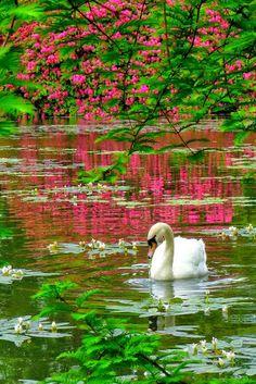 Mother Nature Sunwapta Falls in Jasper National Park - Alberta, Canada Swan, Sheffield Park, Sussex, England Beautiful Birds, Beautiful World, Beautiful Gardens, Animals Beautiful, Beautiful Places, Beautiful Pictures, Beautiful Swan, Swans, Carpe Koi