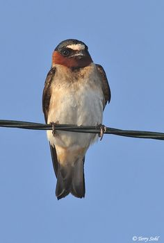 American Cliff Swallow (Petrochelidon pyrrhonota) is a member of the passerine bird family Hirundinidae — the swallows and martins. It breeds in North America and is migratory, wintering in western South America from Venezuela southwards to northeast Argentina. This species is a very rare vagrant to western Europe.