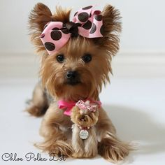 Yorkie named Chloe Polka-Dot Tiny Puppies, Cute Dogs And Puppies, Baby Dogs, Pet Dogs, Corgi Puppies, Weiner Dogs, Yorky Terrier, Yorshire Terrier, Bull Terriers