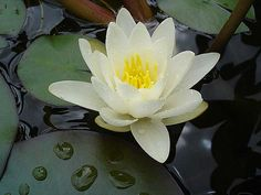 family tat --  July Birth Flower   July Birth Flower   The Waterlily and Larkspur are this month's ...   love this one