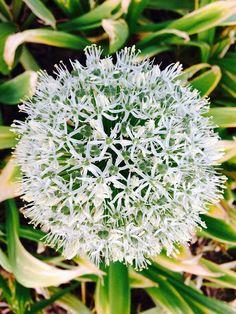 Park, Allium Giganteum, White, Blossom, Bloom #park, #alliumgiganteum, #white, #blossom, #bloom