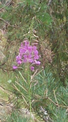 Yx ruusu on kasvanut laaksossa 😉