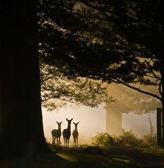 Foto Espectacular, Venados . Preciosa Fotografía tomada por Mark Simms en el Parque Richmond de Inglaterra. Estos venados pareciera...