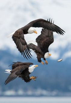 """ Flying Fish - eagles share moments """