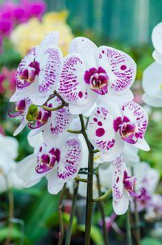 Phalaenopsis - Blooming orchids 2013, by The Adventurous Eye, via Flickr