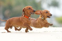 Dachshunds - places to go, people to meet!