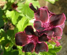 Pelargonium Lord Bute - sumptuous deep red with maroon picotee. Flowers through the summer outside, take cuttings in early autumn to over winter or bring indoors in colder areas. First shown by Cardiff based nurseryman William Treseder in 1911.