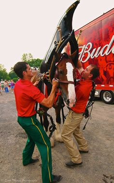 A Budweiser Clydesdales' harness and collar weighs about 130 pounds. Look at the guys arm flexing! All The Pretty Horses, Beautiful Horses, Animals Beautiful, Barrel Racing Saddles, Barrel Racing Horses, Big Horses, Show Horses, Clydesdale Horses Budweiser, Budweiser Commercial