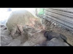 Paralyzed Pig Rescued From Hoarding Facility