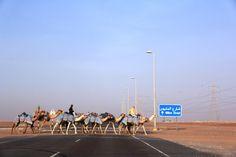 Race Camels crossing the Million Street in Liwa, Abu Dhabi