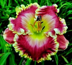 """Cherry Ice Cream Smile Price"" Daylily"