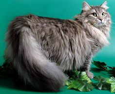 russian forest cat | Description Of A Siberian Cat | Cat Breeds And Types Of Cats