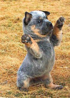 Types Of Dog List - Hypoallergenic Dog Food - - - - Aussie Cattle Dog, Austrailian Cattle Dog, Cute Puppies, Cute Dogs, Dogs And Puppies, Doggies, Cute Baby Animals, Funny Animals, I Love Dogs