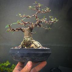 an irreverant blog by a questing bonsai artist