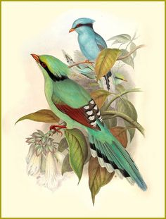 Green Magpie by Naturalist John Gould Illustration Birds Counted Cross Stitch or Counted Needlepoint Pattern Art And Illustration, Vogel Illustration, Vintage Bird Illustration, Gravure Illustration, Botanical Illustration, Botanical Prints, Vintage Illustrations, Nature Prints, Bird Prints