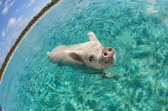 'Who Needs to Fly?' This is one of the Big Major Cay's pigs swimming in the clear, turquoise waters of the Bahamas. Pigs are great swimmers! (Photo and caption by Paul Lee/National Geographic Traveler...