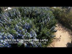 Bee on Rosemary Time Lapse from Arlington Garden, Pasadena, California [Video] (0:30)    A Gardener's Notebook
