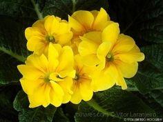 Flores do Meu Jardim.. (Yellow.. )