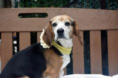 Super Urgent Staten Island - JAVA GIRL - #A1101855 - FEMALE TRICOLOR BEAGLE MIX, 8 Yrs - STRAY, NO HOLD Reason STRAY - Intake 01/20/17 Due Out 01/23/17 - FRIENDLY, ALLOWED HANDLING