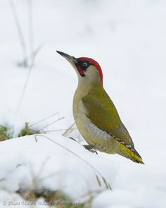 Green Woodpecker in the snow by Dean Mason, via 500px