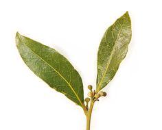 Bay leaf pair  Bay Laurel Laurus nobilis